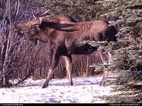 Anchorage : Time for some twigs, Alaska moose.