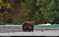 Grizzly sow and cub on the Kenai River in Cooper Landing, Alaska.