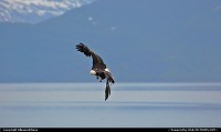 Photo by Albumeditions | Not in a City  Alaska, wildlife, Baldeagle