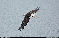 Photo by Albumeditions | Not in a City  Alaska, wildlife, bald eagle