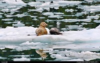 , Not in a City, AK, Harbour seals in the icy waters of Unakwik Inlet close to Meares Glacier, Alaska. Females and pups are often seen up on ice bergs near glaciers. They dive up to 600 feet to retrieve their food. With their short front flippers, they are not agile or safe on land. For more Alaska marine wildlife impressions: www.alaska-editions.com