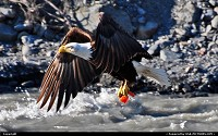 , Not in a City, AK, An American Bald Eagle, here catching a piece of Salmon in Salmon Creek near Seward (Kenai Peninsula - Alaska), can not get their feathers wet. The prey they capture from the water must be at or near the surface. Shot made with Nikon D3000 DSLR/300mm telelens. For more Alaska wildlife impressions: www.alaska-editions.com
