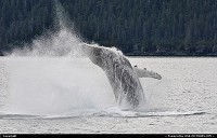 , Not in a City, AK, To see a jumping humpback whale is high on the wish list of anyone who visits Alaska's Prince William Sound. Humpback whales are baleen feeders, consuming nearly a ton of food a day , mostly plankton and krill. They migrate 6,000 miles to reach their summer feeding grounds in Alaska . Humpbacks average 45 feet and weigh 35-40 tons! For more Alaska wildlife impressions and background stories: www.alaska-editions.com