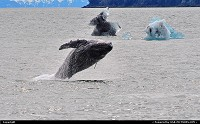 , Not in a City, AK, Humpbacks feed only in summer, in polar waters, like here in Alaska's Prince William Sound. They migrate to tropical or subtropical waters to breed and give birth in the winter. Humpbacks average 45 feet and weigh 35-40 tons. Shot made with Nikon D3000/300 mm tele lens. For more Alaska marine wildlife impressions: www.alaska-editions.com