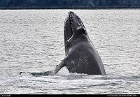 A humpback whale can easily be identified by its stocky body with an obvious hump and black dorsal coloring. The head and lower jaw are covered with knobs called tubercles, which are hair follicles, and are characteristic of the species.Humpbacks frequently breach, throwing two-thirds or more of their bodies out of the water and splashing down on their backs. Shot made with Nikon D3000/300 mm tele lens. For more Alaska marine wildlife impressions: www.alaska-editions.com