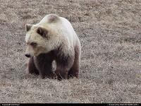Grizzly Bear prowling for his next meal in Northern Alaska