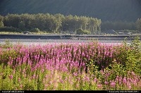 Alaska, The flowering season in Alaska is relatively short, but it brings a wide range of brightly colored wildflowers. For multimedia slideshow The Alaska Experience: www.album-editions.nl See also: www.alaska-editions.nl