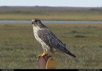 A Falcon on a sign post in Alaska.