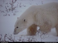 Another closer shot of the lost Polar Bear