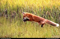 Photo by RhondaRogalski | Prudhoe Bay  red fox, fox, alaska, hunting, prudhoe, wildlife