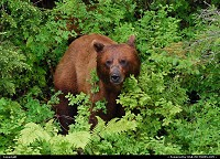 Photo by Albumeditions | Valdez  Alaska, wildlife, bear