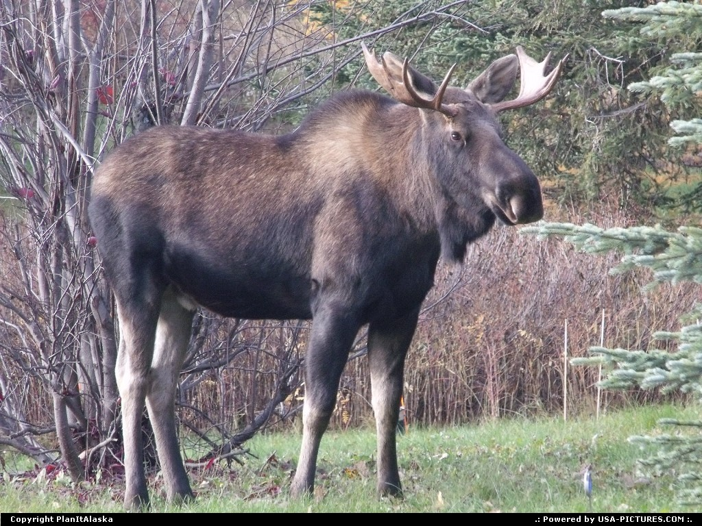 Picture by PlanItAlaska: Anchorage Alaska   Moose