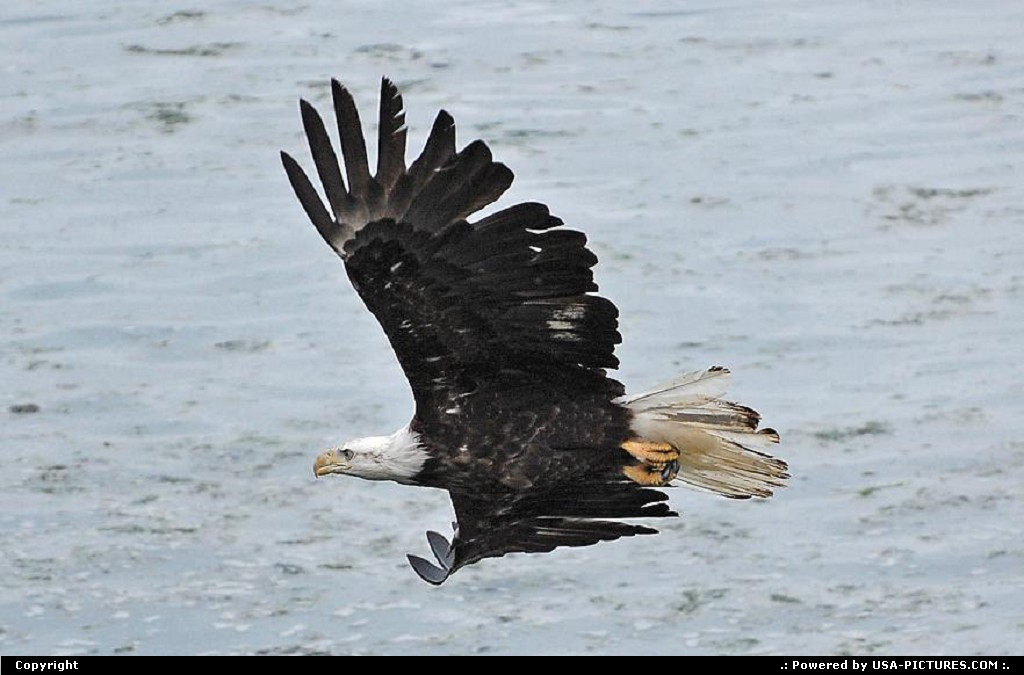Picture by Albumeditions: Not in a City Alaska   Alaska Wildlife Baldeagle Nature