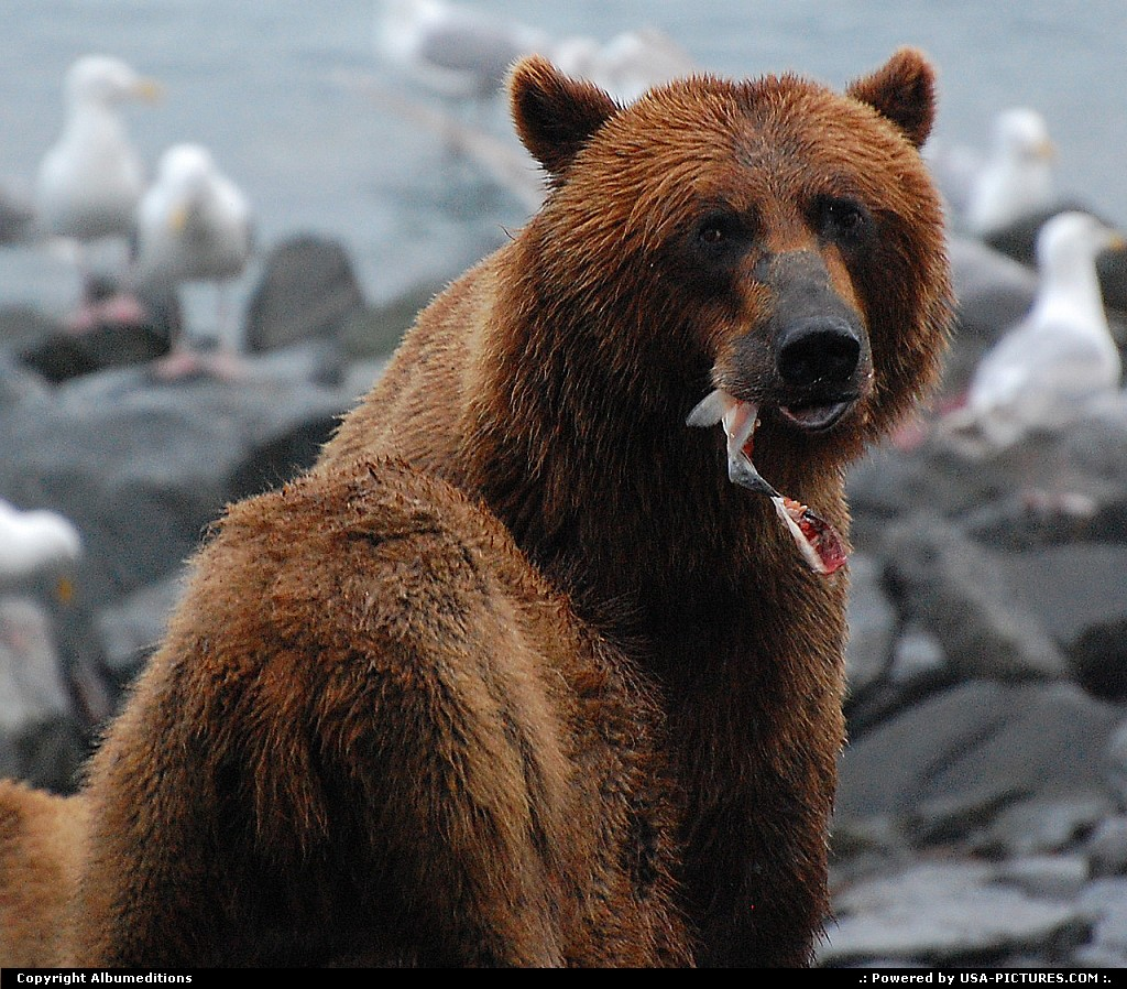 Picture by Albumeditions: Not in a City Alaska   Alaska, Wildlife, Bears