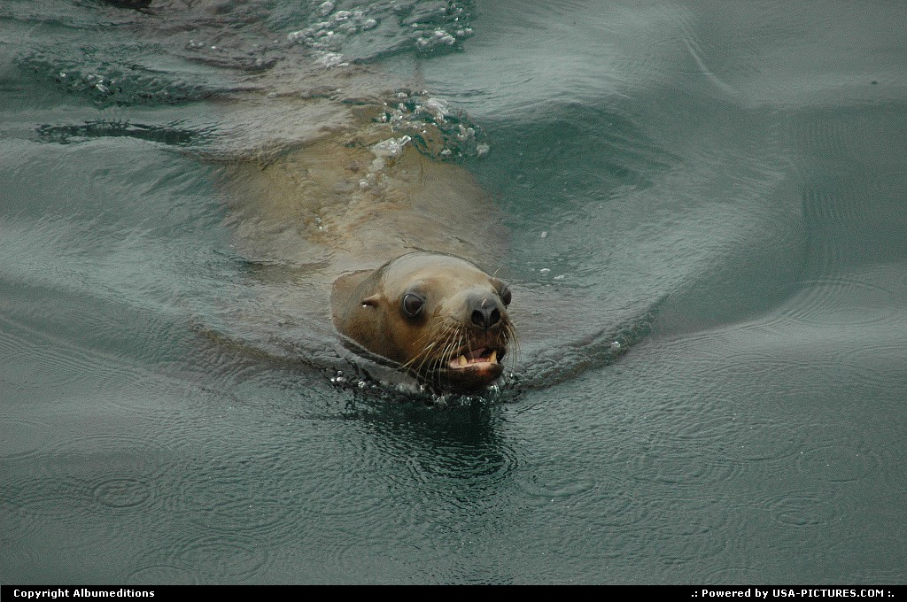 Picture by Albumeditions: Not in a City Alaska   Alaska, wildlife, sea-lion