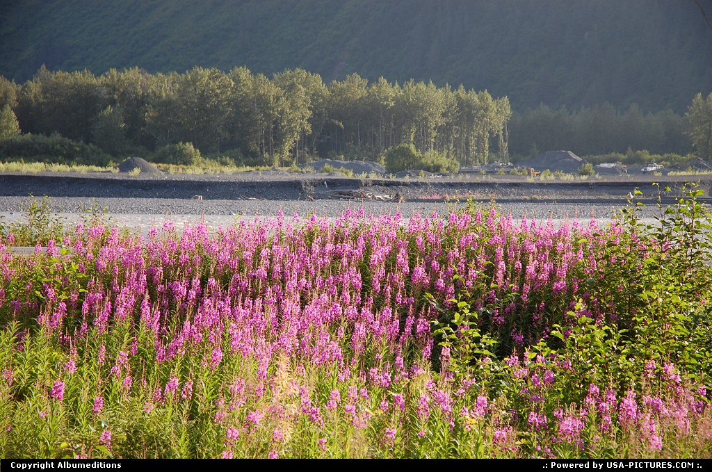 Picture by Albumeditions:Not in a cityAlaskaAlaska flowers