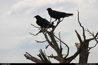 Photo by elki |  Grand Canyon raven, canyon