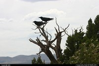 Grand Canyon : Ravens looking at the canyon, as tourists do !!