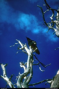 A raven residing on top of this small tree