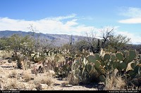 Cactus in front of the Santa Catalina Mountains, near Tucson