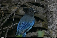 Photo by elki |  Yosemite jay, blue jay