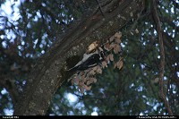 A woodpecker at work