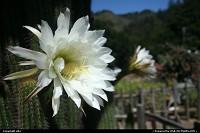 Flowered cactus, big sur california