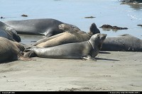 Photo by elki | Hors de la ville  elephant seal california