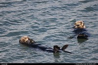 Photo by Mcb74 | Monterey  sea otter