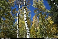 Not in a city : Aspen trees in Inyon National Forest. Almost ready for fall!