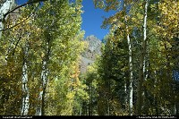 Apsen Trees ready for the fall colors show. In Inyon National Forest.