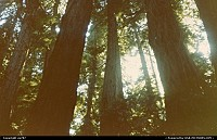Another glimpse of the ovetwhelming redwoods.