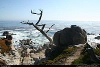 Photo by elki | Pebble Beach  17 mile drive ghost tree