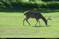 Photo by elki | Pebble Beach  golf elk pebble beach