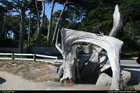 Photo by elki | Pebble Beach  ghost tree 17 mile drive