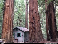 Cabin squeezed between nqssive redwood trees