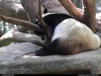 San Diego : lazy panda