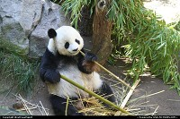 Photo by WestCoastSpirit | San Diego  panda, bear, zoo, bamboo, asia