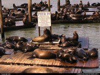 San Francisco : Famous sea lions @pier 39
