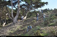 volunteer seeding bushes, or tree along the coastal trail. West San Fancisco coast. enjoy the coastal trail, trought ocean beach, lincoln park, baker beach, presidio ... to the bottom of the golden gate bridge !!