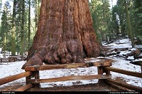 General Sherman is the name of a Giant Sequoia (Sequoiadendron giganteum) with a height of 83.8 metres (275 ft). As of 2002, the volume of its trunk measured about 1,487 cubic metres (52,513 cu ft), making it the largest known non-clonal tree by volume.[1] The tree is located in the Giant Forest of Sequoia National Park in the United States, east of Visalia, California. The tree is believed to be between 2,300 and 2,700 years old.[2][3][4] In 1879, it was named after American Civil War general, William Tecumseh Sherman, by naturalist James Wolverton, who had served as a lieutenant in the 9th Indiana Cavalry under Sherman. In 1931, following comparisons with the nearby General Grant tree, General Sherman was identified as the largest tree in the world. One upshot of this process was that wood-volume was widely accepted as the defining factor in establishing the world's largest tree.[5][6] In January 2006 the largest branch on the tree (seen most commonly, in older photos, as an