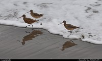 Stinson Beach : bar-tailed godwit at stinson beach north california