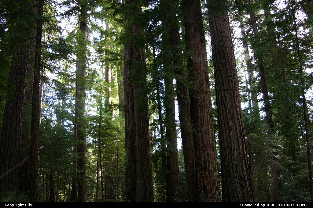 Picture by elki:  California Redwood  forest, tree