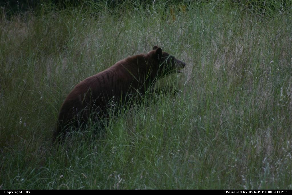 Picture by elki:  California Sequoia  bear