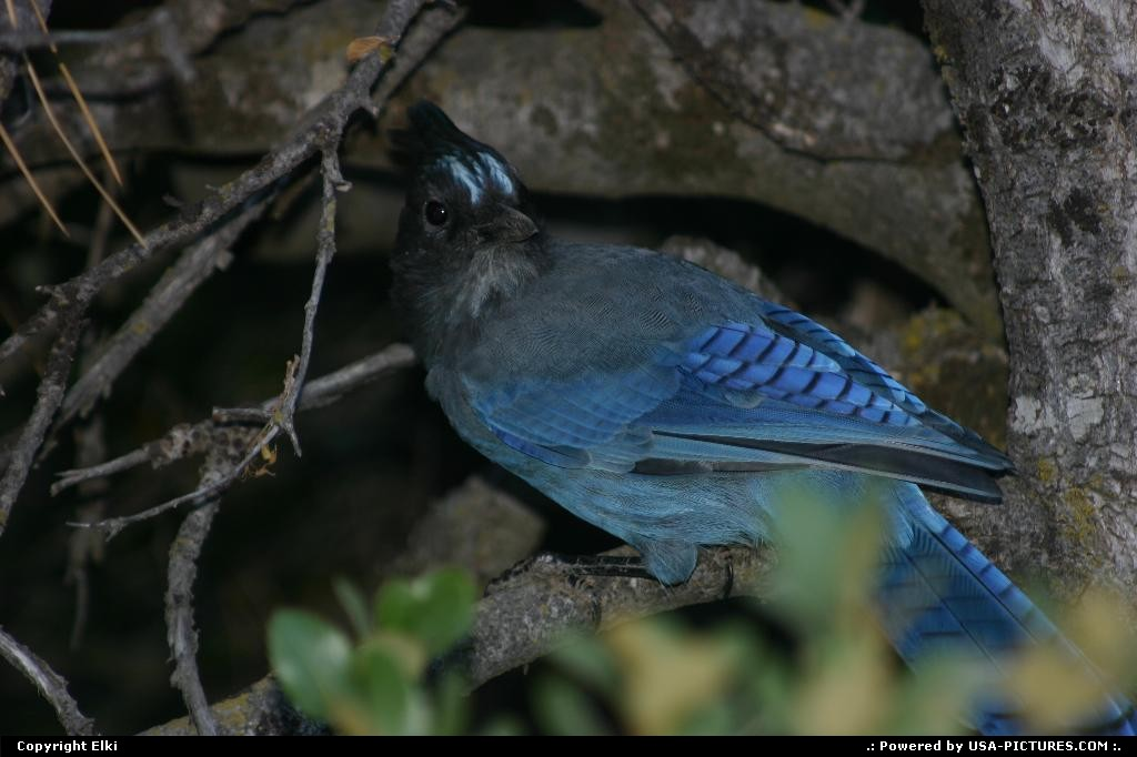 Picture by elki:CaliforniaYosemitejay, blue jay