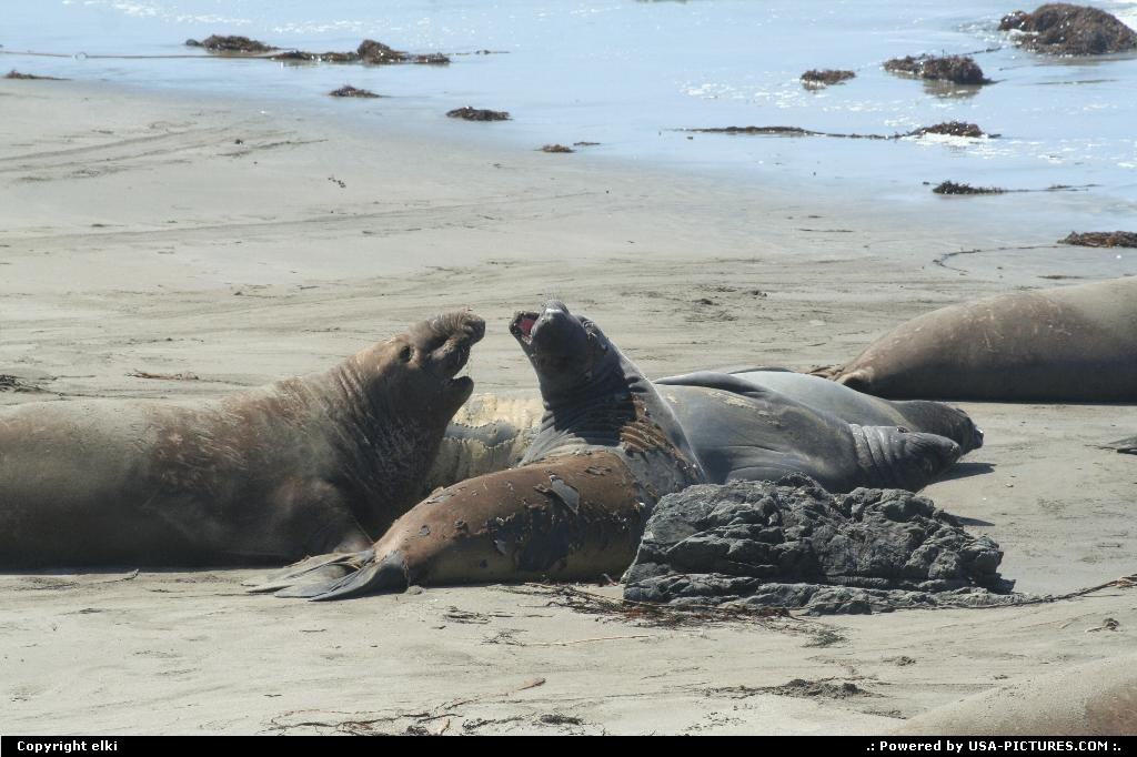 Picture by elki: Hors de la ville California   elephant seal california
