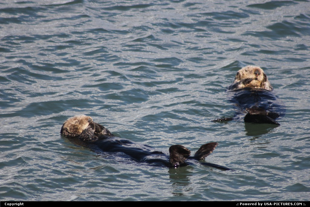 Picture by Mcb74:MontereyCaliforniasea otter