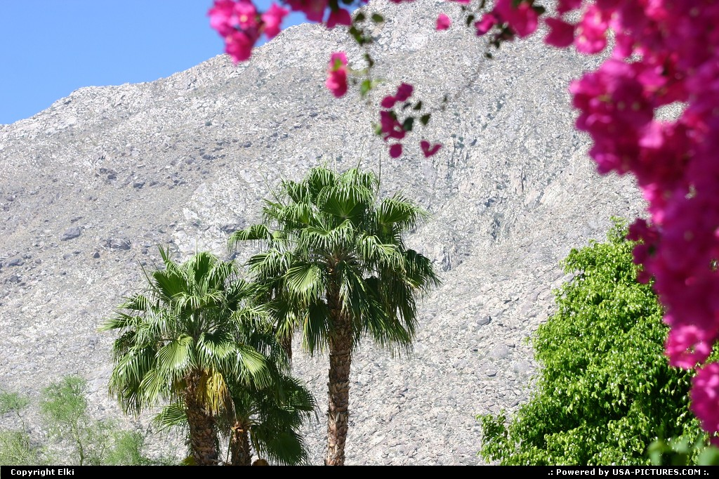 Picture by elki:Palm SpringsCaliforniaplams, flowers