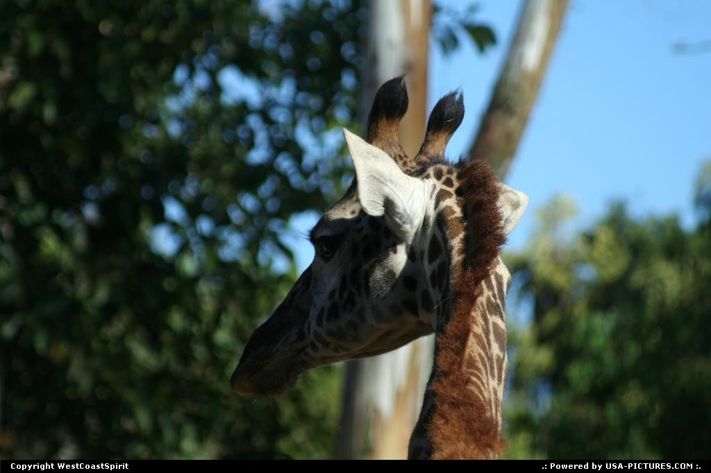 Picture by WestCoastSpirit: San Diego California   giraffe, zoo