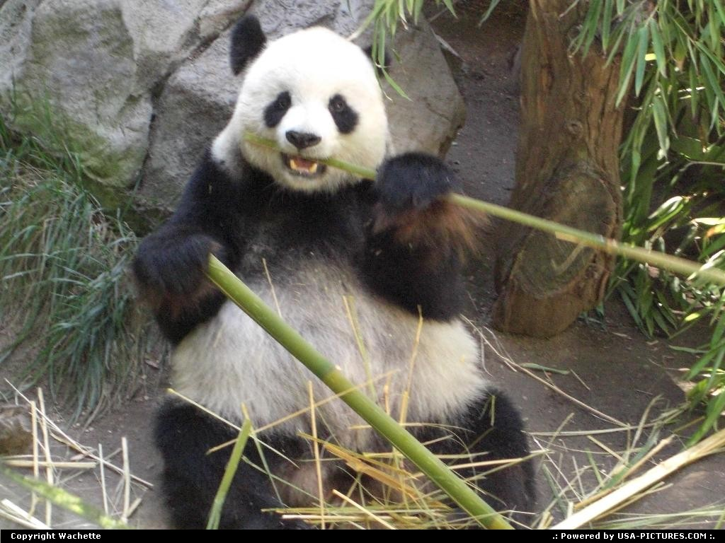 Picture by Wachette: San Diego California   panda, wildlife, zoo
